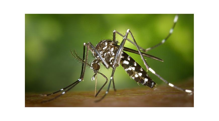 Насколько крупными могут быть комары?